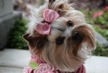 Forever yorkies! / I wonder how many of you love yorkies the way that we do!!   They each have their own personalties and such wonderful unconditional love!  You agree?? Thank you, Lord for yorkies!! / by Margot