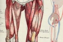 Anatomy of Legs / Anatomy of legs
