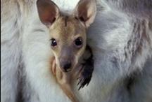 Marsupiales / Los marsupiales son mamíferos con un corto desarrollo uterino, que completan en el interior del marsupio de sus mamás.