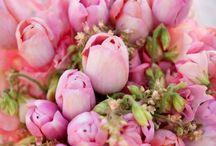 Tulpen -Tulips
