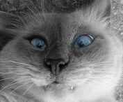 Kancsal macska