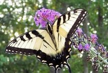 Butterflies Make me Smile / One day I dream of having my own butterfly garden - a place where I can sit & daydream and have colorful flowers and butterflies around me -- and if it was near a stream or lake that would be a bonus :-)