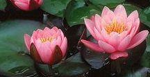 Tavirózsa, vizililiom, lotus...