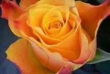 Rózsa, kamélia, clematis