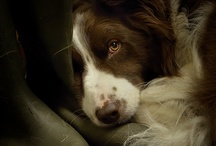 Border Collie / My great passion; the Border Collie. Sweet, caring, intelligent and beautiful breed.