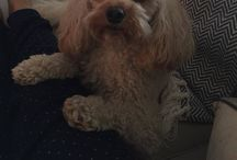 My adorable apricot cavapoo / Cute, curly, furball...
