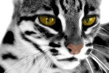 Wildcats