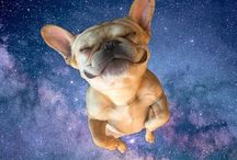 Fabulous French Bulldogs & Boston Terriers / French Bulldog, Boston Terrier, Frenchtons, French Bulldog/Terrier Mix, Frug, Frugs,  Francesca, Montague, adorable, puppy,  costumes,  funny,  silly,  sweet,  cute, happy, grumpy, sweet, Darth Vader, frenchy,  frenchies, costume, French bulldog in costume,