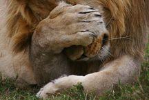 Lions / Lions