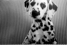 Dalmatians / Spotty and dotty dalmatians aren't they just the cutest. Find out more about dogs here - http://fourleggedloves.com