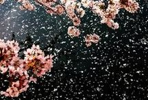 Sakura (桜) / Cherry blossoms are richly symbolic in Japanese culture, representing the brevity and beauty of life with their mere two weeks of blooming each year.