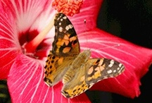 Carolina Biological Butterflies / It's that time of year again! Butterflies are ready to be shipped so your students can watch their amazing life cycle.