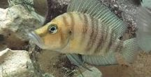 Fichas de peces - Tuaquario.es / Fichas de peces de acuario escritas para la web www.tuaquario.es