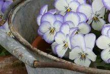 kukkaset / Ruskolilja,vanha kanta