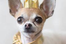 Chihuahua gear