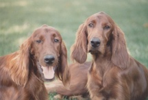 Irish Setters / We were fortunate to spend our lives with six of the most beautiful Irish Setters. / by Ruth Ann Williams