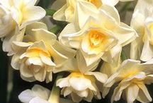 Daffodils: Old House Gardens