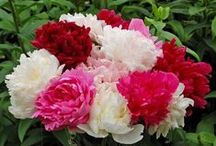 Peonies: Old House Gardens