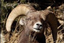 """Bighorn sheep / Between 300 and 400 bighorn sheep, Colorado's official state mammal, comprise the """"Georgetown Herd."""""""