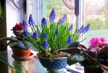Forcing Flower Bulbs / Forcing bulbs into bloom indoors is easier than you might think. Here's everything you need to know to start enjoying this traditional winter-time pleasure yourself!