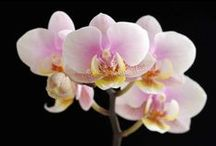 Flower Photography Fine Art over Black / Limited signed edition lightjet flower photography prints