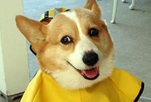 Welsh Corgi / All kinds of gifts for Welsh Corgi lovers including t shirts, novelties, fashion accessories, and home decor.