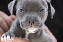 Pit Bull Terrier / Pics and gift ideas for pit bull lovers.