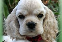 Cocker Spaniel / Cute pics and gifts for cocker spaniel lovers.