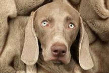 Weimaraner / Pics, personal checks, and gifts for weimaraner owners.