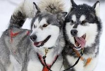 Siberian Husky Stuff / Pics and gift ideas for Husky owners.