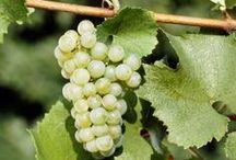 Dans les vignes / Le vignoble à Saint-Georges-d'Orques, Pignan, Lavérune, Murviel-lès-Montpellier et Juvignac.
