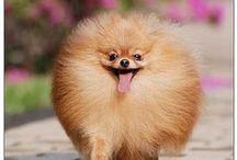Pom Love / All things Pomeranian / by Jamie Foate