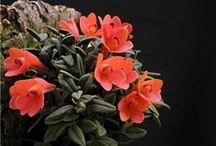 Miniature orchids / Trouvez de belles orchidées miniatures sur www.tropicorchidees.com  --  Find neat mini orchids on www.tropicorchidees.com
