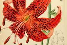 Historical Illustrations: Plants / Vintage prints and ancient illustrations and drawings of plants