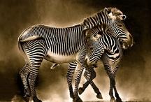 Zebras / by Boo Jay
