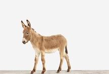 Donkey,Burros,Mule,Mixed / by Boo Jay