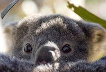 Koala / by Boo Jay