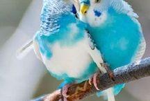 BUDGIE LOVE. / Pretty bird pretty bird