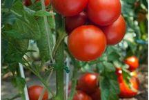 Gardening: Tomatoes / Growing tomato tips