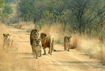 Animals of the Lowveld of South Africa / Animals I have seen in the Lowveld.