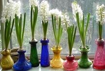 Spring Bulbs - Hyacinths