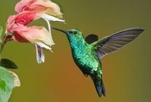 Hummingbirds! Such little guys. / Different colors and types of Hummingbirds.