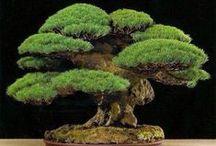 Bonsai / Arbori si arbusti in miniatura care ne incanta cu frumusetea lor
