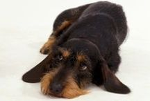 A-Dorable Dachshunds / My favourite dog breed
