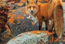 Foxes / Wild, cunning and kind little survivor. A victory of intelligence over malevolence and brute strength!