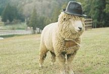 Sheep Wearing Hats