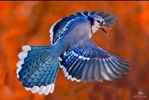 Bluejays / by Ann York