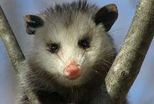 possum / by Ann York