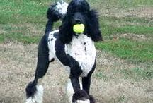Standard Poodles  / No better way to train your standard poodle then using Pet Tutor. It is fast becoming a leading tool that trainers prefer and recommend. Find it at SmartAnimaltraining.com