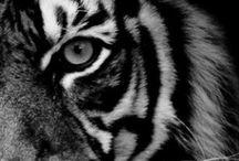 Tigers / I adore tigers!